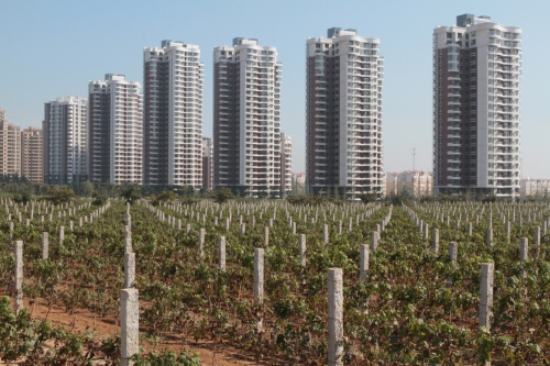 Apartment blocks tower over vines at Chateau Changyu Castel, Shandong Province
