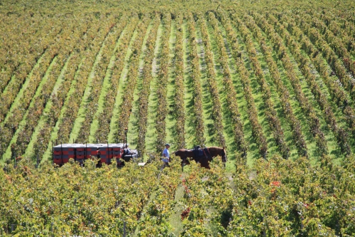 Horse & cart hauling grapes, Chateau Pontet Canet, Bordeaux