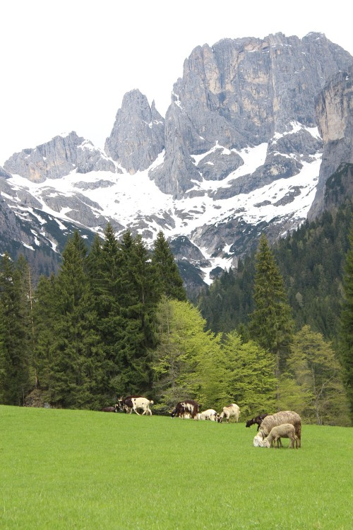 Sheep grazing at Malga Canali farm in Italy
